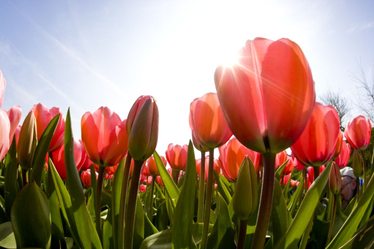 Beautiful Spring Flowers. Tulip Season. #nature | University For When Is Spring Break For The University Of Phoenix