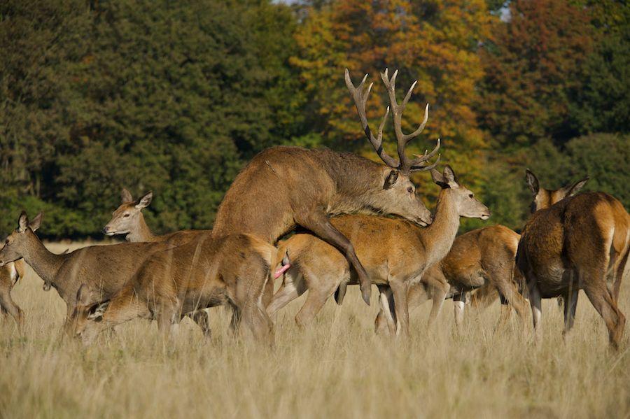 [B]Arturo De Frias - Wildlife Photography[/B]: Red Deer Mating Pertaining To Louisiana Deer Rut Dates