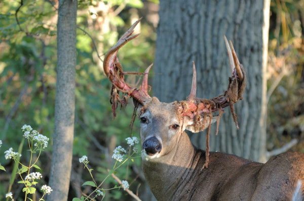 Buck Le Cerf De Virginie — Photographie Brm1949 © #1989359 With Louisiana Deer Rut Dates
