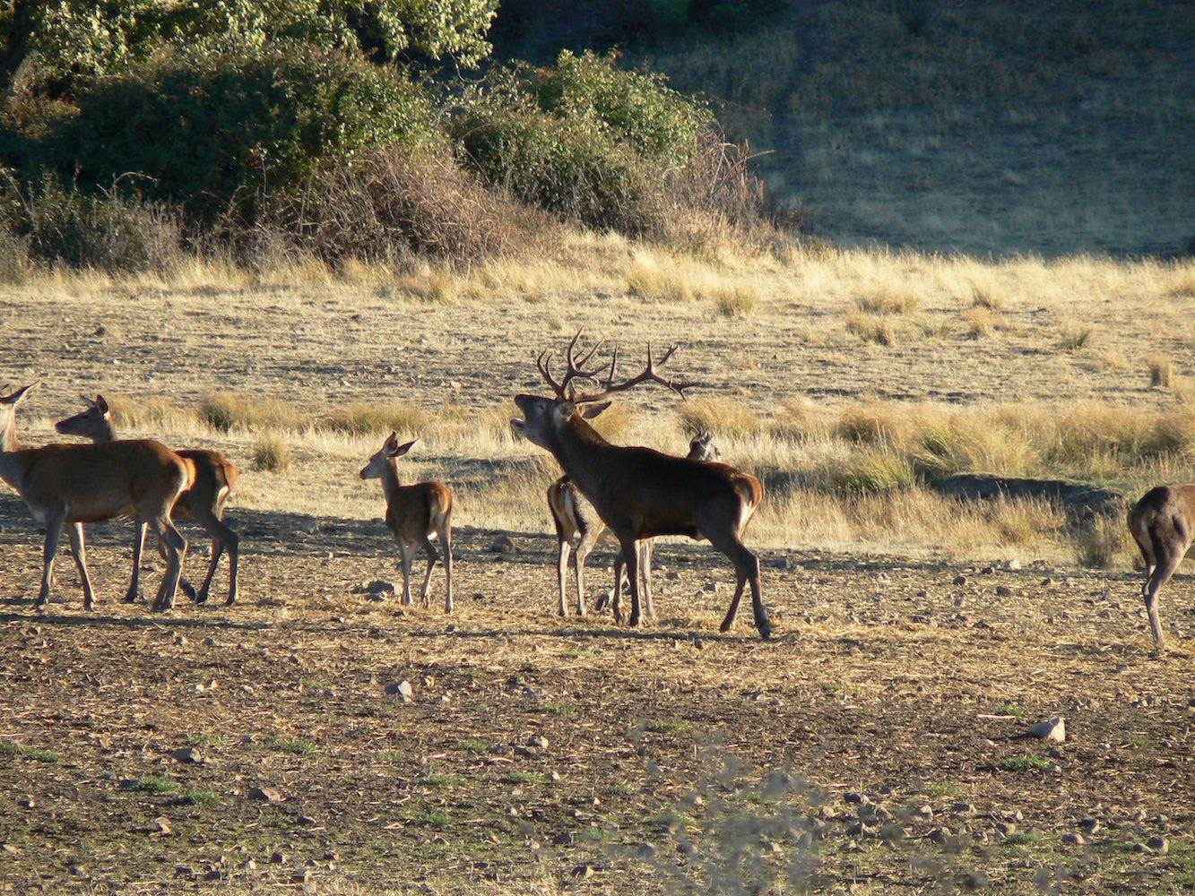 Descubre Los Secretos De La Berrea - Ecoturismo Cuenca with Louisiana Deer Rut Dates