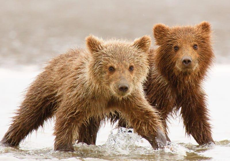 Beach Boys Brown Bear Cubs Notecardron Niebrugge With Regard To White Bear Lake Activities Calendar 2021 2021