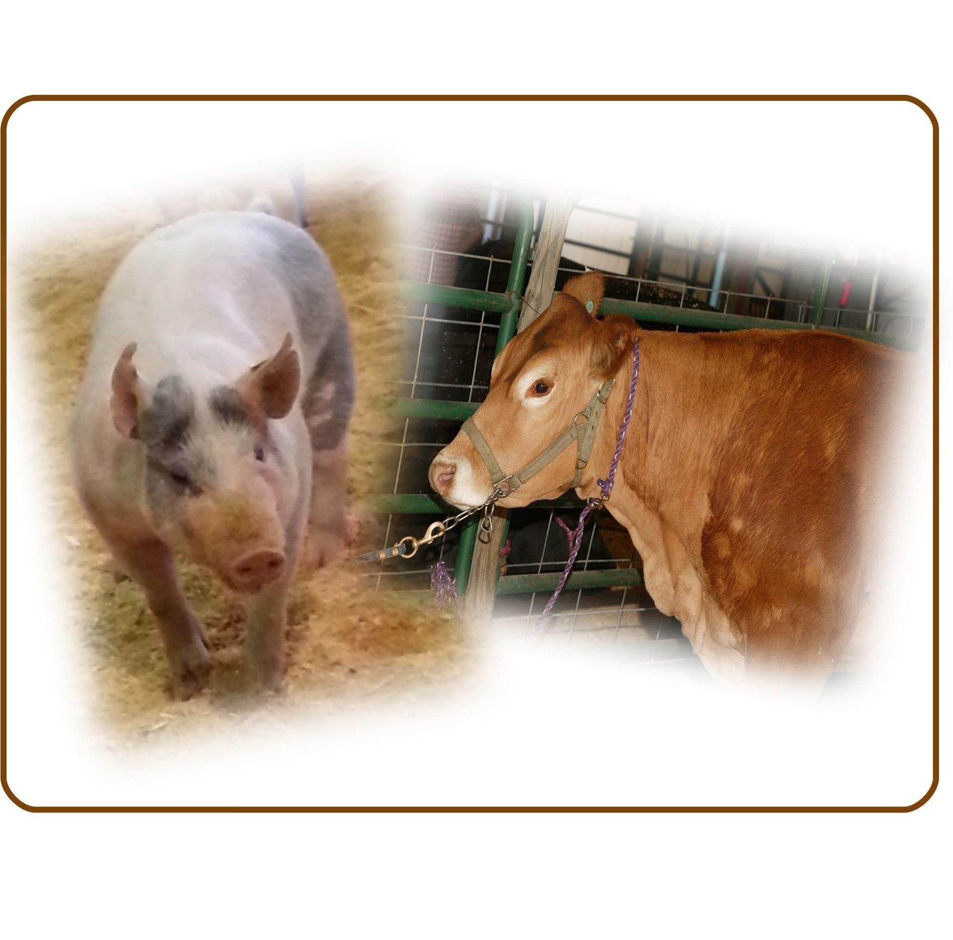4H / Ffa Steer & Swine Sale Within Clay County Florida School Calendar 2021